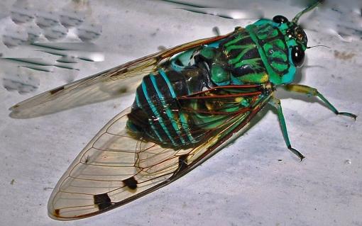 ecuadorian-cicada_1427708368