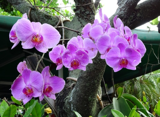 ORQUIDEA DO ARABE