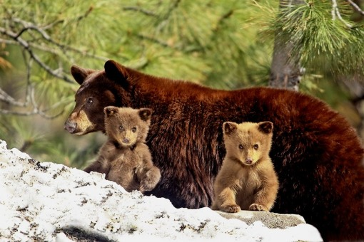 bear-cubs-and-mom-big