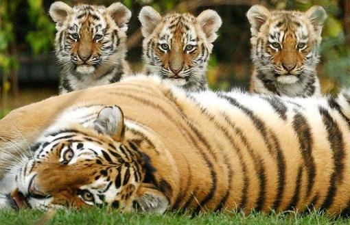 tiger-cubs_1014061i