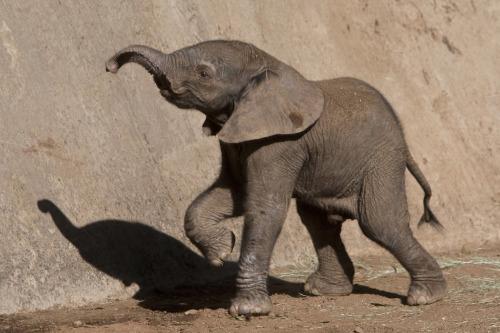 elefantinho, san diego zoo