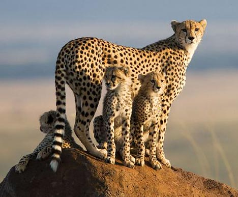 Cheetah, Honey e seus filhotes, foto BBC