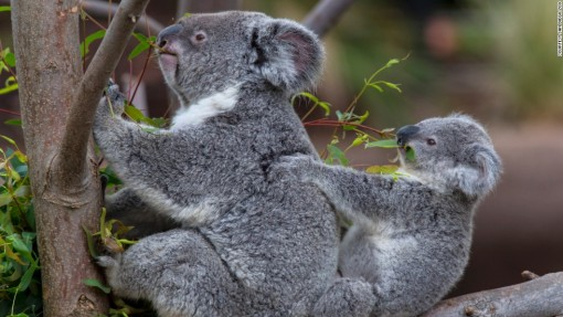 KOALAanimals-san-diego-zoo-koala1-horizontal-large-gallery