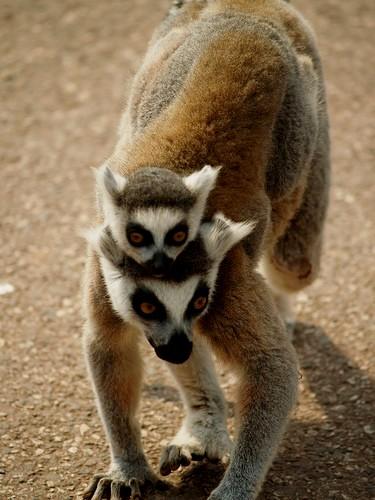 lemur, mae e filho