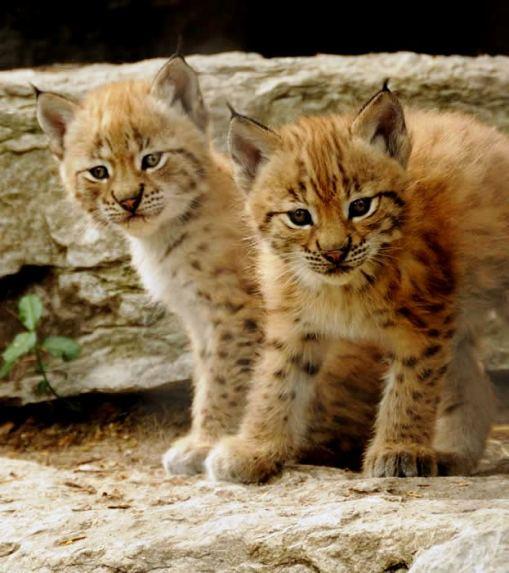 lynx, cincinatti zoo