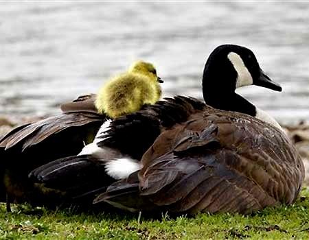 patinho e mamae pata