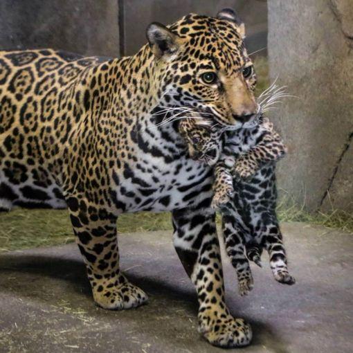 san-diego-zoo-babies, jaguatirica