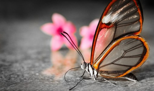 transparent-glasswinged-butterfly