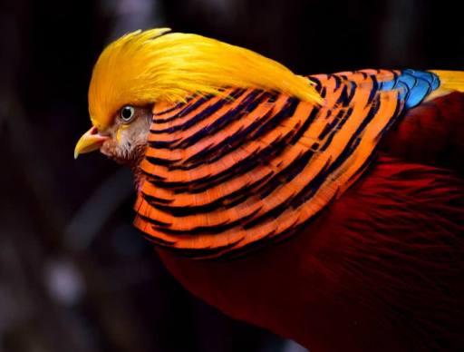 Pheasant-Bird