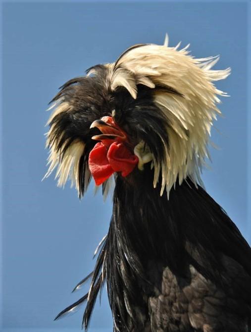 galinha polonesa de topete